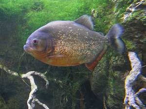Piranhas: Inspiring Terrible Horror Movies Since 1978 ...
