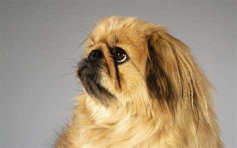 pechinese una piccola razza  cane  lunghi capelli