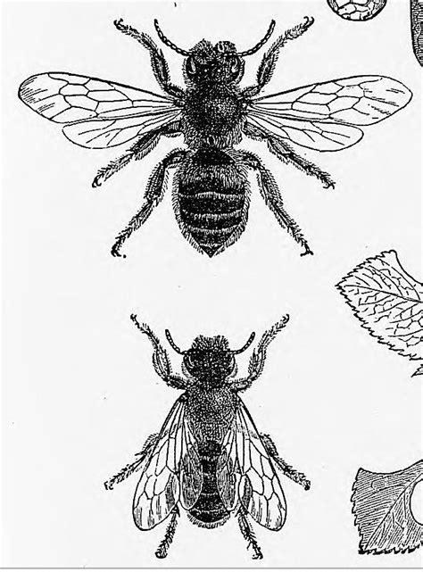 Leaf-Cutter Bee | Ink illustrations, Anatomy art, Bee wings