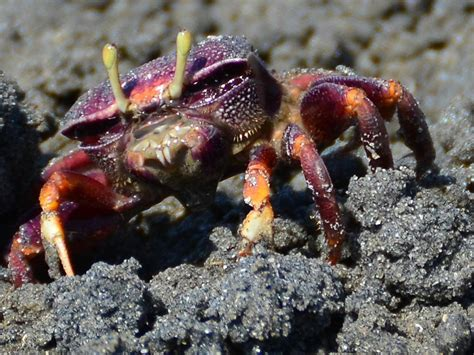 fiddler crab fiddler crab nature