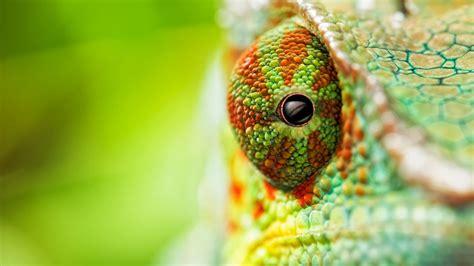 wallpaper chameleon eyes  animals