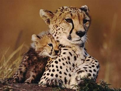 Mother Animals Cheetah Animali Sweet Sfondi Cubs