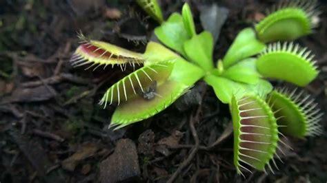 planta carnivora dionaea  inseto youtube