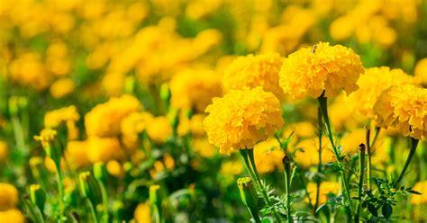 garden marigold aspca