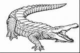 Drawing Line Alligator Crocodile Coloring Pages Draw Getdrawings sketch template