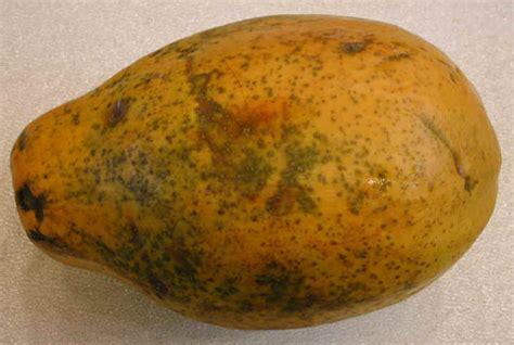 how to tell if a papaya is ripe i tried a papaya tonight page 2