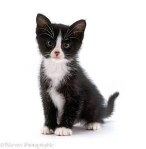 Black and White Kitten
