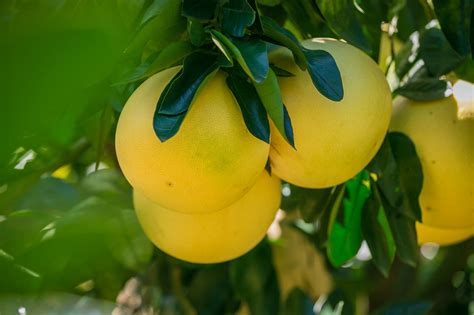 12 Fruits To Best Cure Constipation Asian Fruit World