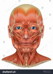 Muscles Of The Face And Neck Structure Physiology Study