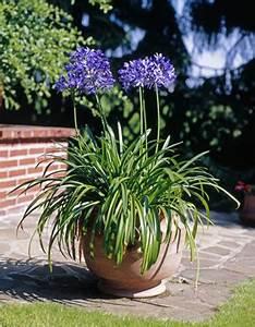 Kuebelpflanzen Fuer Terrasse : schmucklilie agapanthus pflege und berwintern ~ Orissabook.com Haus und Dekorationen