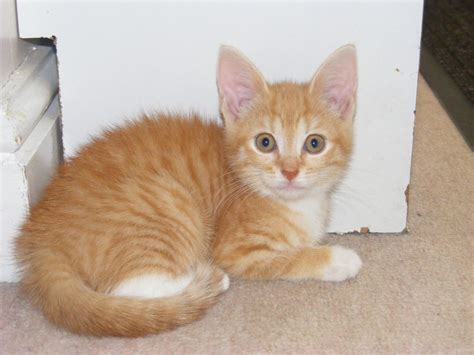Last One Ginger Kitten For Sale Ready Now Wigan