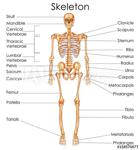 Diagram Of Part Of Human by Education Chart Of Biology For Human Skeleton
