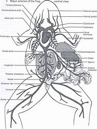 NAME          FROG DISSECTION Objectives  • Describe the appeara in addition  as well Frog and Anatomy  parison   Ms  Pearrow's 7th Grade Science together with Frog Dissection Answer Sheet in addition Frog dissection 2014 further Best Frog Dissection   ideas and images on Bing   Find what you'll moreover External Frog Diagram Dorsal   Auto Electrical Wiring Diagram furthermore Frog Anatomy Worksheet External Anatomy Of the Crayfish Q Worksheet likewise Frog Dissection  External and Internal   Biology LibreTexts as well Anatomy Of A Frog Game   Games World moreover Parts Of A Frog Worksheet View Preview Frog Parts Worksheet besides Internal and External Frog Anatomy Label and color the various parts furthermore  together with frog external anatomy diagram – shopnext co as well Frog External Anatomy Lab Answers furthermore Famous Frog Anatomy Worksheet Sketch and Physiology on Collection Of. on frog external anatomy worksheet answers
