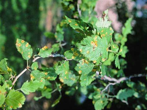 hawthorn rust cedar pests diseases crataegus problems garden gardening