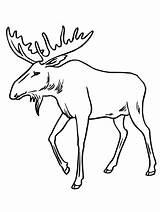 Moose Coloring Drawing Bull Pages Reindeer Draw Antlers Elk Sheets Printable Head Cartoon Skull Drawings Template sketch template