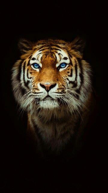Tiger King Big Cats Animals Beautiful
