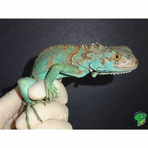 Blue Iguana - Hatchling - Strictly Reptiles  Blue