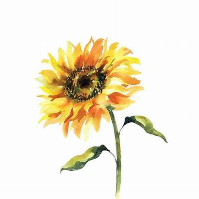Sunflower Watercolor Step Drawing Painting Sunflowers Paint