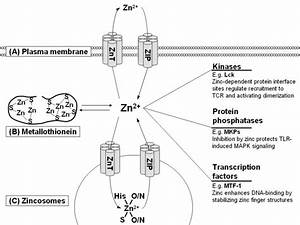 Zinc As A Signal Molecule For Immune Cells  Zinc Homeostasis Is Tightly