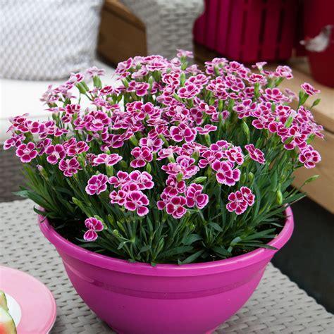 Nelken Pflanzen Kaufen by Prinzess Nelke Pink Kisses 174 Kaufen Bei G 228 Rtner P 246 Tschke