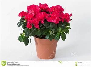 Pot De Fleur Rouge : fleurs rouges dans un pot image libre de droits image 32372926 ~ Melissatoandfro.com Idées de Décoration
