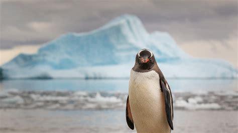 wallpaper penguin  animals