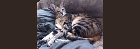 Savannah Cat Rescue — Caring For The Savannah Cat Breed