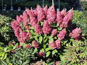 Hydrangea Paniculata Schneiden : hortensien umpflanzen hortensien umpflanzen so machen sie ~ Lizthompson.info Haus und Dekorationen