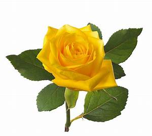 Single Yellow Rose Pictures, Images and Stock Photos - iStock
