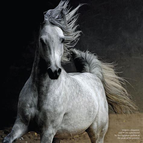 horse arabian egypt horses identity magazine auc publication farm open different