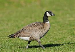 Living on Earth: Bird Note-Migrating Geese