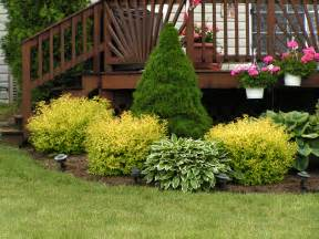 i this landscaping i grow the goldmount spiraeas in with my shrubs around the house they
