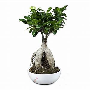 Bonsai Ficus Ginseng : bonsai ficus retusa ginseng valentine e shop ~ Buech-reservation.com Haus und Dekorationen