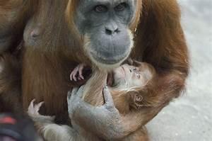 Ginger the Baby Orangutan :: Saint Louis Zoo  Baby