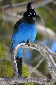 blue birds on pinterest blue jay bluebirds and birds
