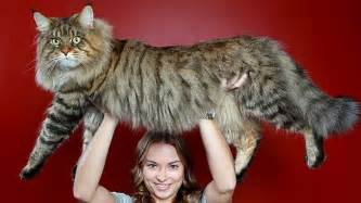 big cat breeds this mega cat may become the cat in the