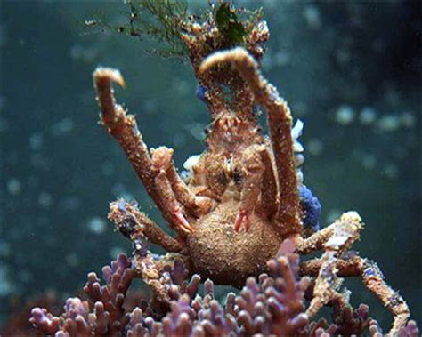 spider decorator crab 187 aquarium hobbyist resource and