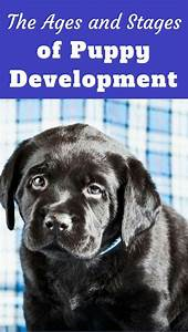 Puppy Development  U0026 Growth Stages Guide  U2013 Key Age