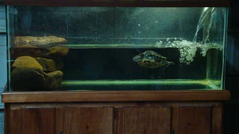 eared slider tank cichlids com 75g red eared slider tank