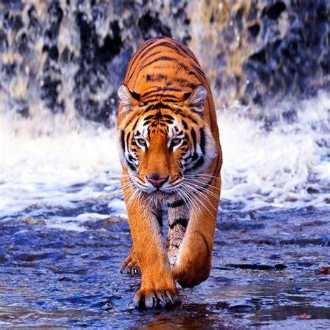 tiger  wallpaper  apk  android