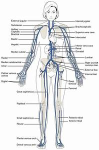 Circulatory Pathways  U00b7 Anatomy And Physiology