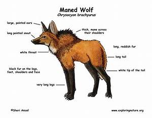 Wolf  Maned