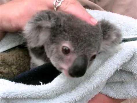 koala baby cute joey  youtube