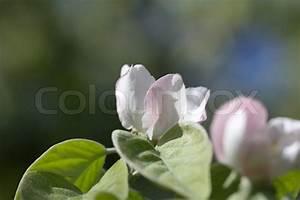 Blumen In Der Box : sch nen blumen in der natur quitte stockfoto colourbox ~ Orissabook.com Haus und Dekorationen