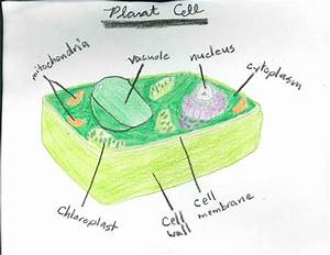 Junior Historians  Awesome Plant  U0026 Animal Cells