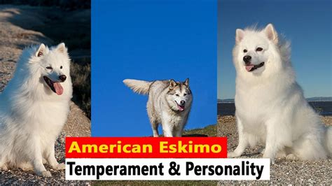 American Eskimo Shedding by American Eskimo American Eskimo Temperament And