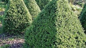 Ilex Crenata Krankheiten : ilex crenata 39 convexa 39 treeebb online tree finding tool ebben nurseries ~ Orissabook.com Haus und Dekorationen