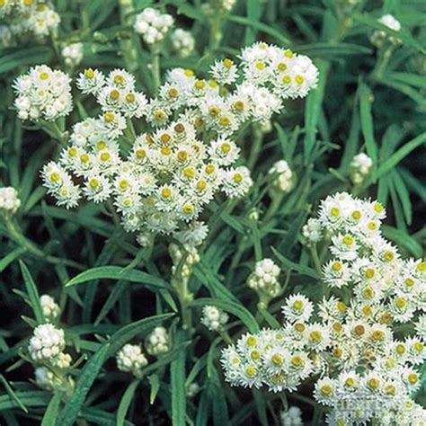 rabbit resistant perennials pearly everlasting anaphalis margaritacea full sun perennial attracts butterflies deer and