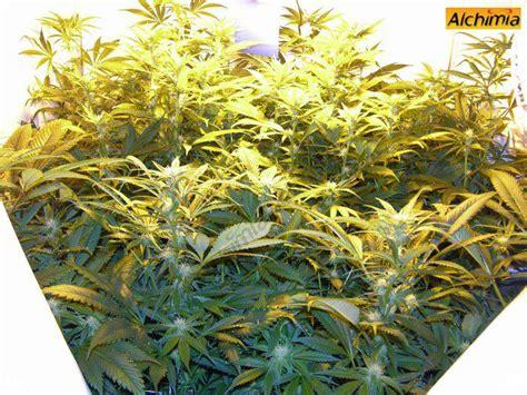 culture interieur de cannabis du growshop alchimia