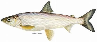 Bloater Fish Freshwater Fisheries America Coregonus Hoyi